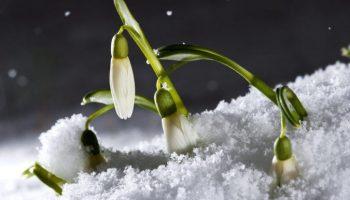 Der Neuschnee drueckt die Blueten dieser Schneegloeckchen in die frisch gefallene weisse Pracht, aufgenommen am Samstag, 6. Maerz 2010, in Igis im Churer Rheintal. In der Nacht vom Freitag auf den Samstag fiel die Schneegrenze in weiten Teilen Nordbuendens bis in tiefste Lagen. (KEYSTONE/Arno Balzarini)